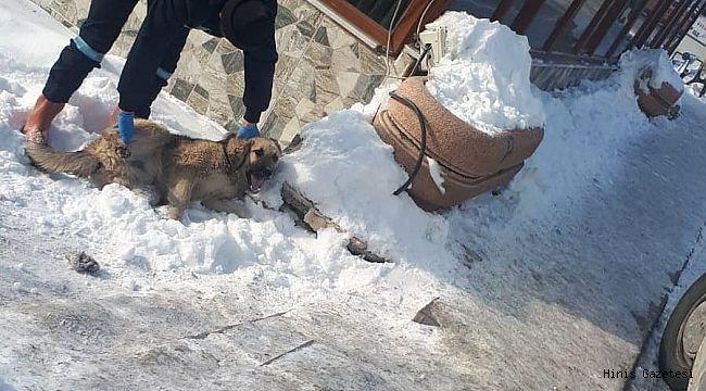 Hınıs'ta Sahipsiz Köpekler Toplatıldı.
